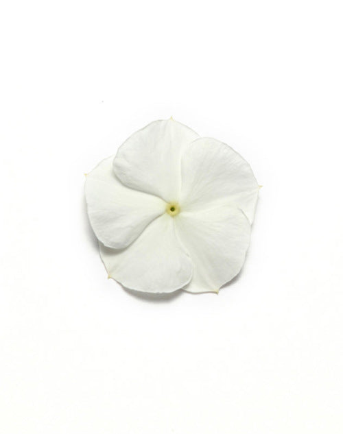 Vinca Pacifica - White - Catharanthus roseus - 10 Seeds