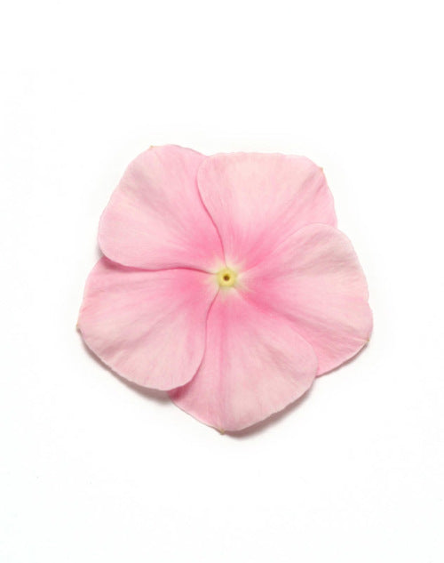 Vinca Pacifica - XP - Icy Pink - Catharanthus roseus - 10 Seeds