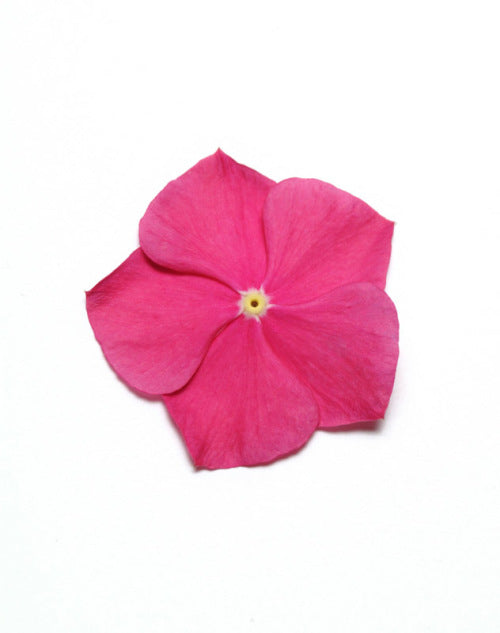 Vinca Pacifica - XP - Raspberry - Catharanthus roseus - 10 Seeds