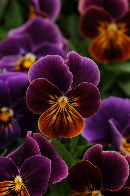 Viola sorbet - Antique Shades - Viola cornuta - 10 Seeds