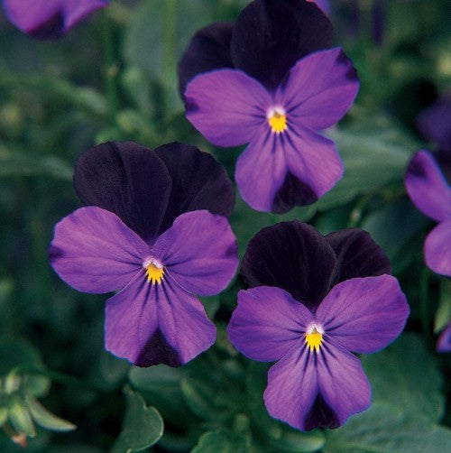 Viola sorbet - Black Jump Up - Viola cornuta - 10 Seeds