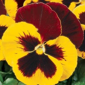 Pansy Matrix - Red Wing - Viola wittrockiana - 10 Seeds