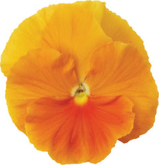 Pansy Matrix - Orange - Viola wittrockiana - 10 Seeds