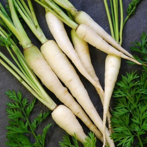 Lunar White Carrot  - Heirloom Vegetable - Daucus carrota - 100 Seeds