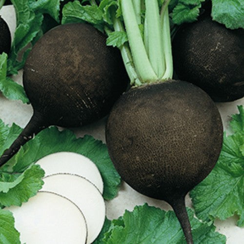 Spanish Black Radish  - Heirloom Vegetable - Raphanus sativus - 50 Seeds