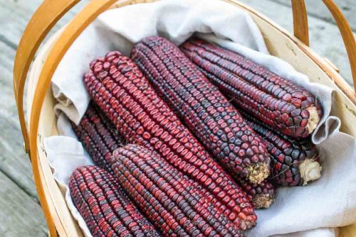 Bloody Butcher Corn  - Heirloom Vegetable - Zea mays - 10 Seeds
