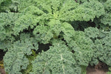 Dwarf Siberian Kale  - Heirloom Vegetable - B. oleracea var. fimbriata  - 100 Seeds