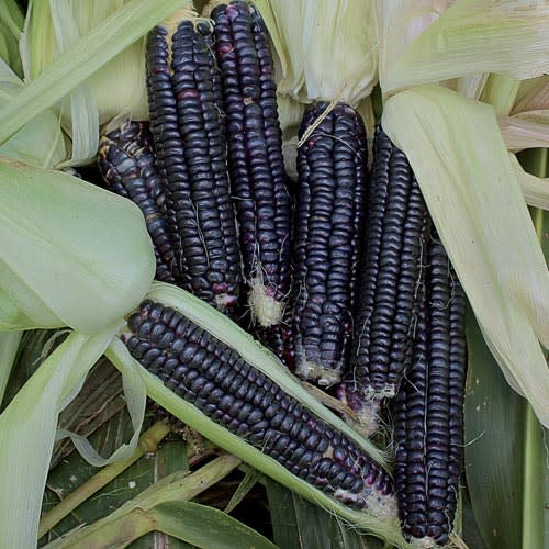 Black Aztec Corn  - Heirloom Vegetable - Zea mays - 10 Seeds