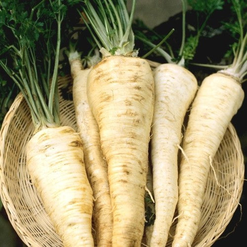Hamburg Rooted Parsley  - Heirloom Vegetable - Petroselinum crispum radicosum  - 50 Seeds