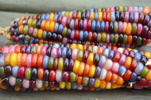 Glass Gem Corn  - Heirloom Vegetable - Zea mays - 10 Seeds