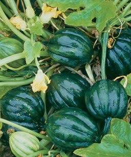 Table King Bush Acorn Squash  - Heirloom Vegetable - Cucurbita pepo - 10 Seeds