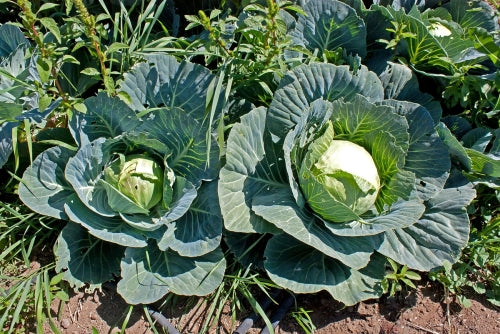 Brunswick Cabbage - Heirloom Vegetable - Brassica oleracea  - 100 Seeds