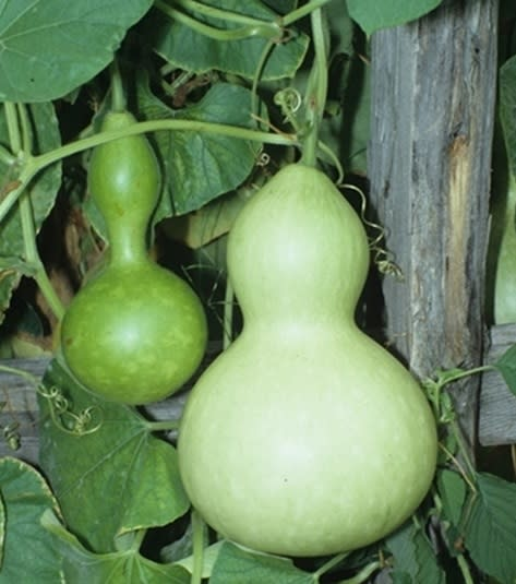 Calabash Birdhouse Gourd  - Heirloom Vegetable - Lagenaria siceraria - 5 Seeds