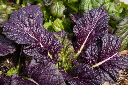 Osaka Purple Mustard Greens - Heirloom Vegetable - Brassica juncea - 100 Seeds