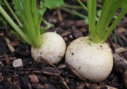 Shogoin Japanese Turnip  - Heirloom Vegetable - Brassica rapa - 100 Seeds