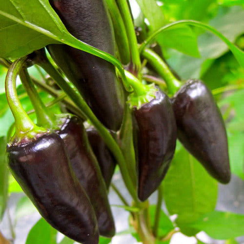 Purple Jalapeno Chilli Pepper - Heirloom Vegetable - Capsicum annuum - 20 Seeds