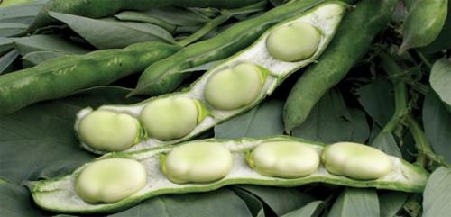 Aquadulce Broad Bean - ORGANIC - Heirloom Vegetable - 5 Seeds