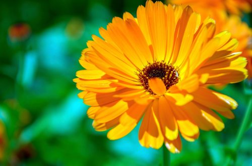 Calendula Edible Flower - ORGANIC - Heirloom Edible Flower - 20 Seeds