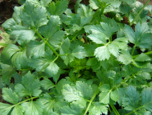 Soup Celery - ORGANIC - Heirloom Vegetable - 200 Seeds