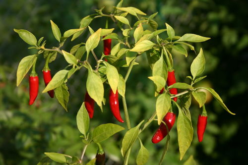 Birds Eye Chilli Pepper - ORGANIC - Heirloom Vegetable - 20 Seeds