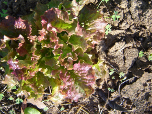 Red Lattughino Battavia Lettuce - ORGANIC - Heirloom Vegetable - 100 Seeds