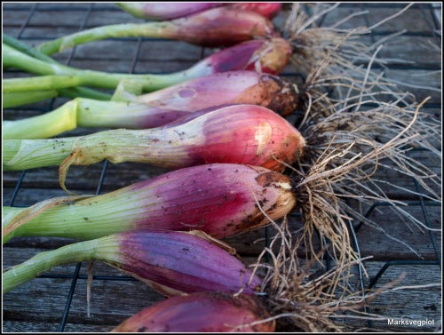 Red Florence Bunching / Salad Onion - ORGANIC - Heirloom Vegetable - 50 Seeds