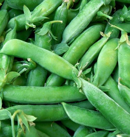 Sugar Snap Peas / Mange Tout - ORGANIC - Heirloom Vegetable - 10 Seeds