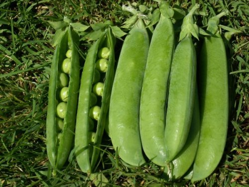 Weggisser Mange Tout - ORGANIC - Heirloom Vegetable - 10 Seeds
