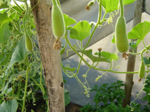 Itala African Gourd /  Squash - ORGANIC - Heirloom Vegetable - 5 Seeds