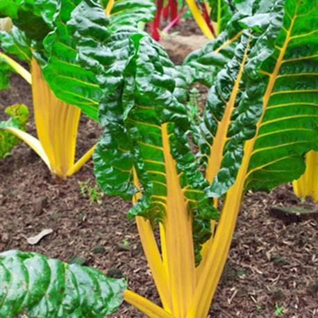 Yellow Swiss Chard - ORGANIC - Heirloom Vegetable - 50 Seeds