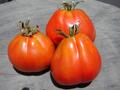 Akker Tomato - ORGANIC - Heirloom Vegetable - 20 Seeds