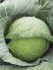 Glory of Enkhuizen Cabbage - Brassica Oleracea - 100 Seeds
