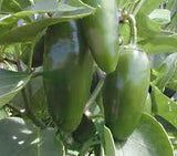 Jalapeno Chilli Pepper - Capsicum Annuum - 50 Seeds