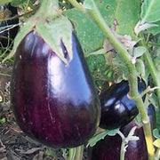 Black Beauty Eggplant - Solanum Melongena - 100 Seeds