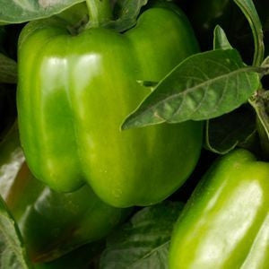California Wonder Sweet Green Pepper - Capsicum Annuum - 40 Seeds