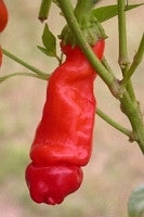 Red Peter Chilli Pepper - Capsicum Annuum - Seeds