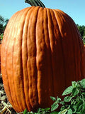 Connecticut Field Pumpkin Squash - Cucurbita Maxima - 10 Seeds