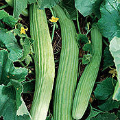 Armenian Cucumber - Cucumis Sativus - Oriental Heirloom Vegetable - 5 Seeds