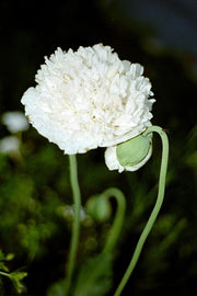 White Cloud Poppy Annual - Papaver Somniferum - 20 Seeds