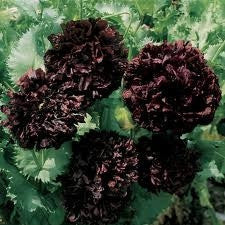 Black Peony Poppy Annual - Papver Paeoniflorum - 20 Seeds