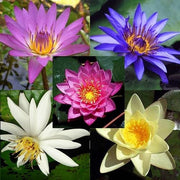 Mixed Water Lilies Aquatic - Nymphaea ssp - 10 Seeds