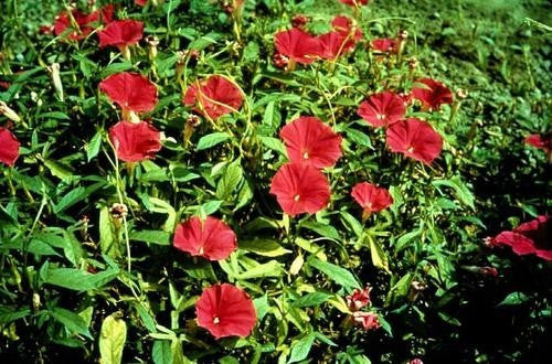 Scarlett O Hara Morning Glory Vine - Ipomoea Nil - 5 Seeds