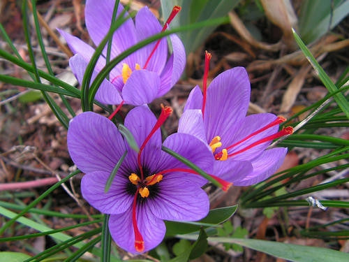 Saffron Exotic Bulbs - Crocus Sativus