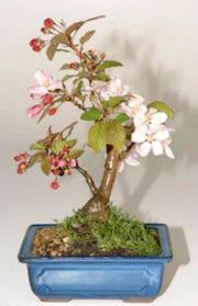 Sargents Crab Apple Bonsai - Malus Sargentii - 5 Seeds