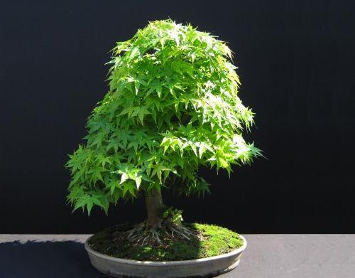 Japanese Green Cascade Maple Bonsai - Acer Palmatum - 5 Seeds