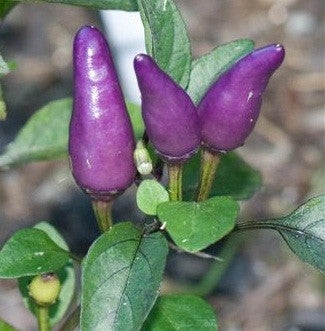 Purple Tiger Pepper Chilli Pepper - Capsicum Annuum - 10 Seeds