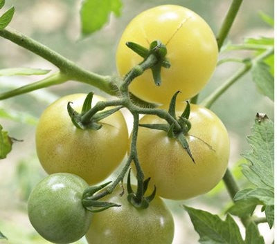 Snow White Cherry Tomato  - Lycopersicon Esculentum - 10 Seeds - ORGANIC