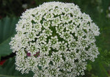 Queen Annes / Ladies Laceflower Annual - Ammi Majus - 100 Seeds