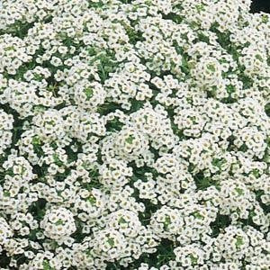 Alyssum Carpet of Snow Annual - Lobularia maritima - 100 Seeds