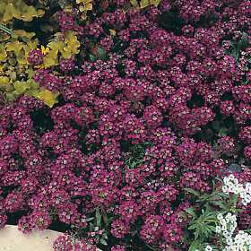 Alyssum Royal Carpet Annual - Lobularia maritima - 100 Seeds
